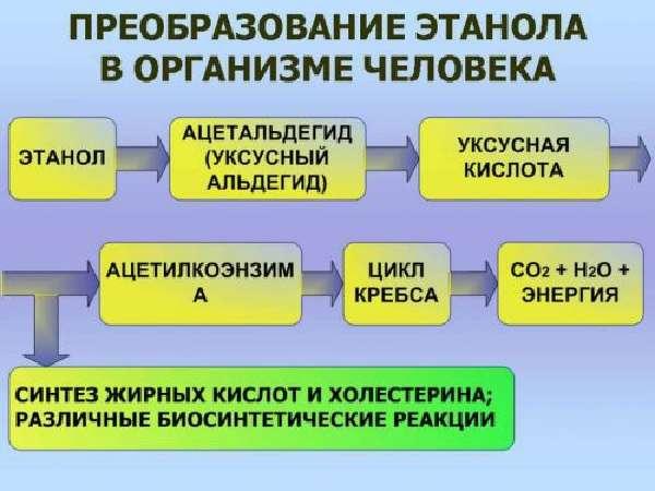 Метаболизм этанола в организме