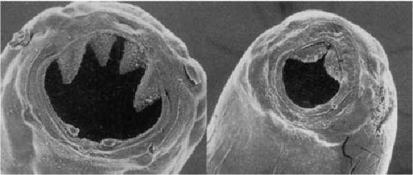 Некаторы под микроскопом