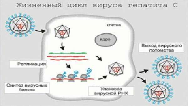 жизненный цикл вируса гепатита С