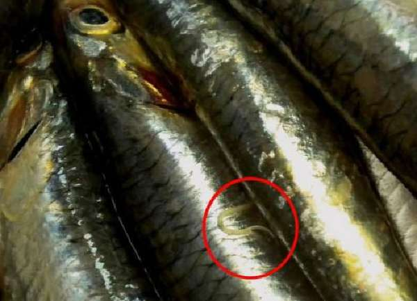Гельминты в рыбе