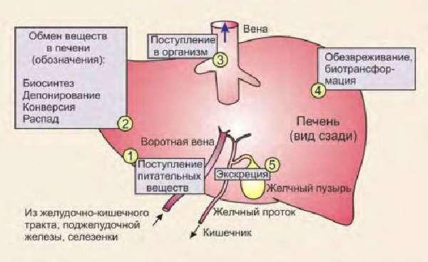 Процессы в печени