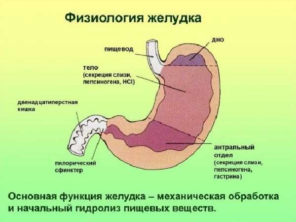 Физиология желудка