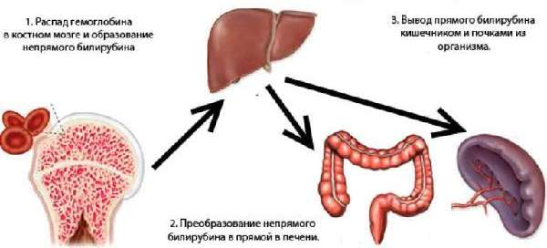 Образование билирубина в организме