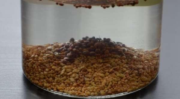 Семена редьки в воде