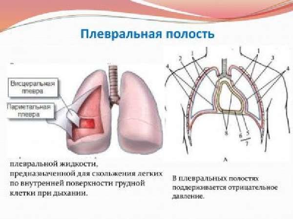 Анатомия плевральной полости фото
